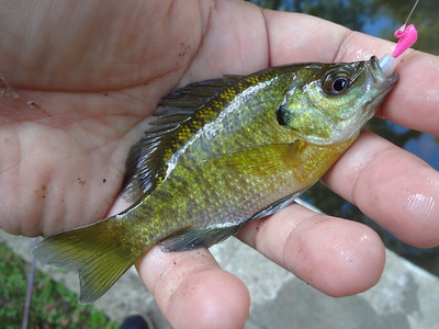 August 22nd, 2016 - Bluegill - Gulph Creek