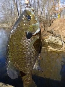 January 28th, 2012 - Bluegill - Haddon Lake