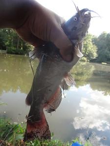 September 8th, 2013 - White Catfish - Hopkins Pond