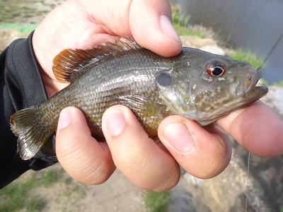 April 24th, 2013 - Green Sunfish - Kirkwood Lake
