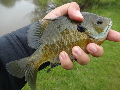 May 17th, 2016 - Bluegill - Mill Creek Pond