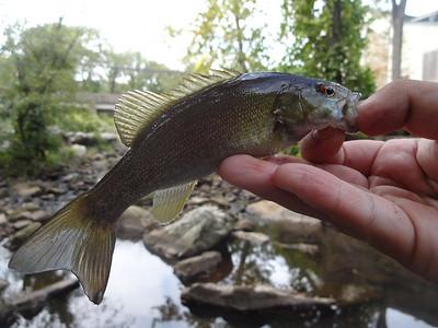September 27th, 2015 - Smallmouth Bass - Mills Creek