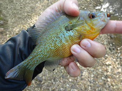 March 29th, 2016 - Redbreast Sunfish - Mountain Creek