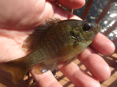 April 21st, 2017 - Spotted Sunfish - Myrtle Beach Unnamed Pond