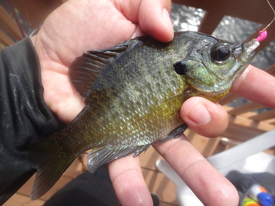 April 21st, 2017 - Bluegill - Myrtle Beach Unnamed Pond