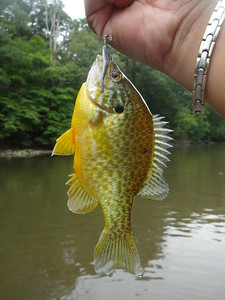 July 31st, 2013 - Pumpkinseed - Neshaminy Creek
