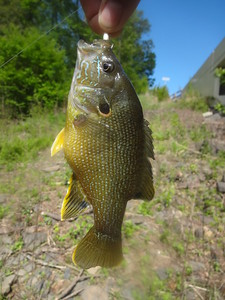 May 12th, 2013 - Green Sunfish - Neshaminy Creek