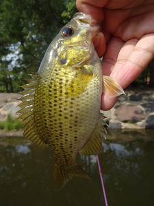 August 31st, 2015 - Rock Bass - Neshaminy Creek