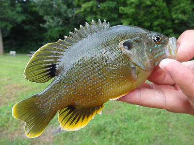 July 9th, 2013 - Green Sunfish - Neshaminy Creek