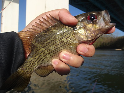 March 29th, 2016 - Rock Bass - Lake Nickajack