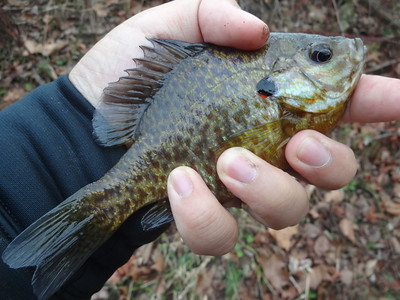 December 28th, 2015 - Pumpkinseed - North Branch Big Timber Creek