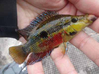 February 21st, 2017 - Yellow Belly Cichlid - G-15 Canal