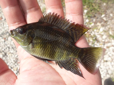 July 7th, 2016 - Spotted Tilapia - G-15 Canal
