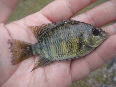 February 21st, 2017 - Spotted Tilapia - G-15 Canal