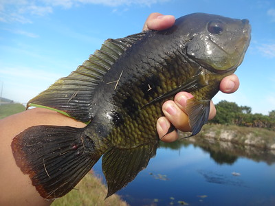 December 1st, 2015 - Spotted Tilapia - G-15 Canal
