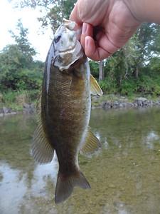 September 17th, 2016 - Smallmouth Bass - Owego Creek