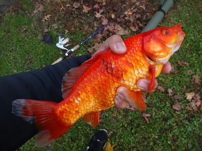 December 5th, 2016 - Goldfish - Pastorius Park Pond