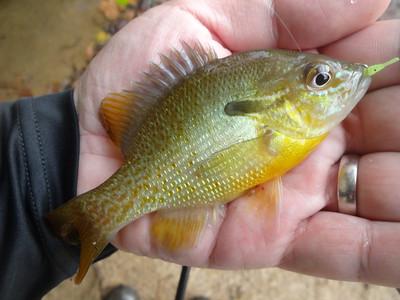 October 16th, 2016 - Redbreast Sunfish - Patapsco River