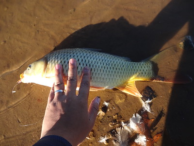 November 18th, 2016 - Common Carp - Pine Run Dam
