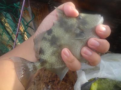 December 2nd, 2015 - Grey Triggerfish - Pompano Beach Fishing Pier