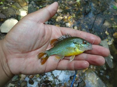 June 17th, 2013 - Redbreast Sunfish - Poquessing Creek