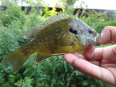 August 24th, 2015 - Hybrid - Bluegill X Green Sunfish - Runnemede Lake
