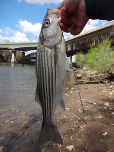 April 28th, 2015 - Striped Bass - Schuylkill River