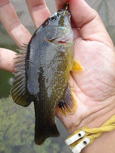 October 1st, 2015 - Green Sunfish - Tohickon Creek