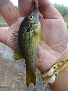 October 1st, 2015 - Redbreast Sunfish - Tohickon Creek