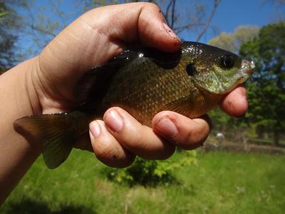 May 5th, 2013 - Bluegill - Tookany Creek