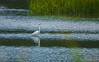 GreatEgret-003