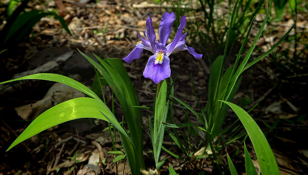 Dwarf Crested Iris--a native Appalachian wildflower, present in abundance in not so many places as more mountain land is disturbed.