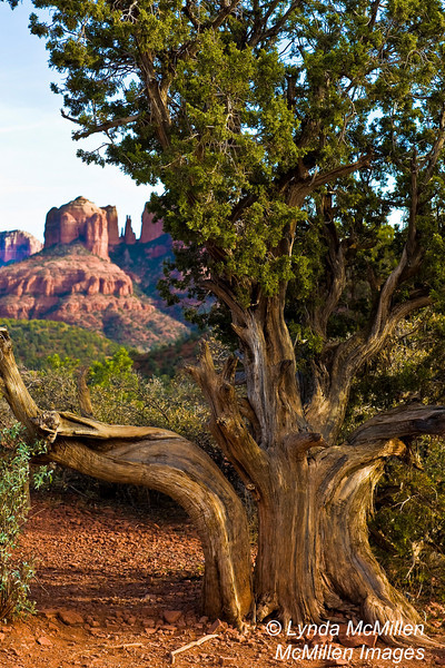 Ancient twisted juniper spies Cathedral Rock.