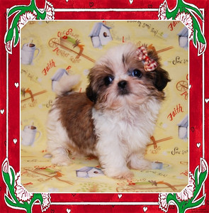 Sold to: ( Lora Lynn R. ) Date Sold: May 2007 From: City & State: OKLAHOMA PUPPY NUMBER: ( 542 ) BREED:Shih Tzu SEX:Female SIZE: Tiny Teacup D.O.B:2-22-07 COLOR:White W/sable patches COAT TYPE: List only if applicable  Starting Price was:$3975.00 without registration Final Price Paid: $4975.00 with registration  Sales Representative: Shelley  Click the ( BUY THIS PHOTO ) icon under photo to purchase this puppy picture.  Photos are available in wallets, 8 X 10, 5 x 7, on key chains, mouse pads, back packs, coffee mugs and T-Shirts and more.  This Photo is copy right protected by: http://www.TeacupAndToyPet.com