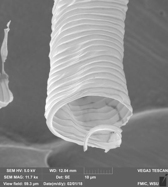 Honey Bee Trachea (Apis mellifera)