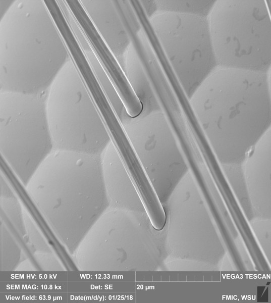 Ommatidia of a Compound Eye (Apis mellifera)