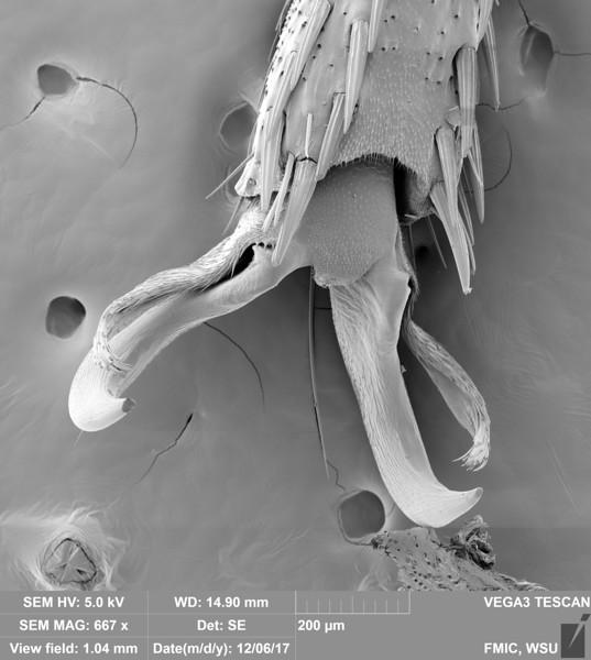 Tobacco Hornworm Pre-Tarsus (Manduca sexta)
