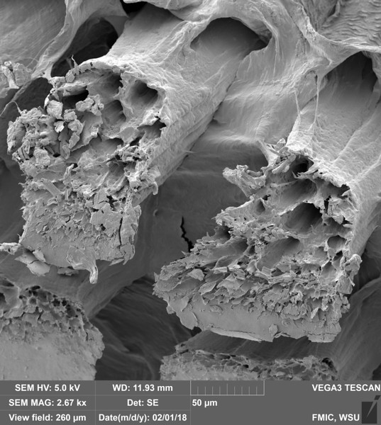 Thorasic Muscle Tissue (Apis mellifera)