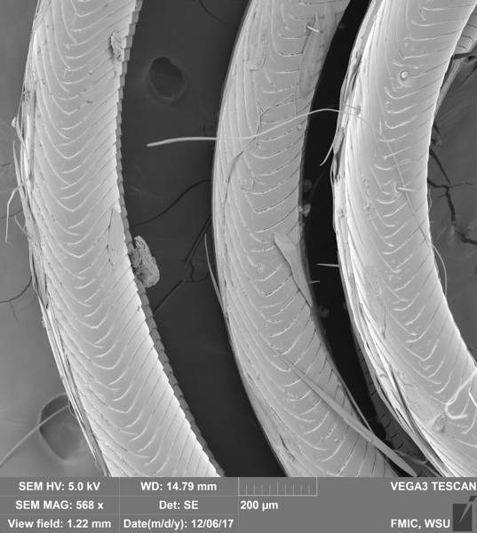 Tobacco Hornworm Proboscis (Manduca sexta)