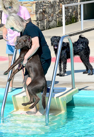KEVIN HARVISON |<br /> Scout, one of the pooches that participated in the pool plunge prepares to enter the water Saturday at Jeff Lee Pool.