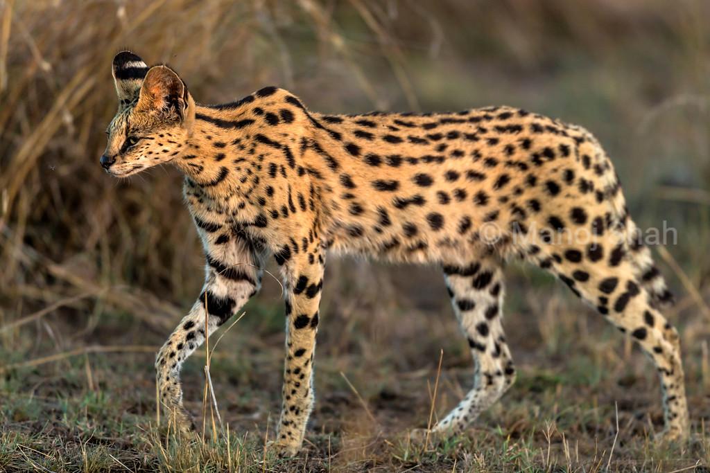 Serval cat llooking for prey