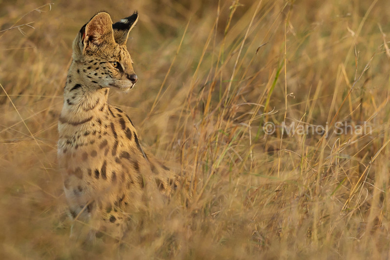 Serval cat listening for prey noise.
