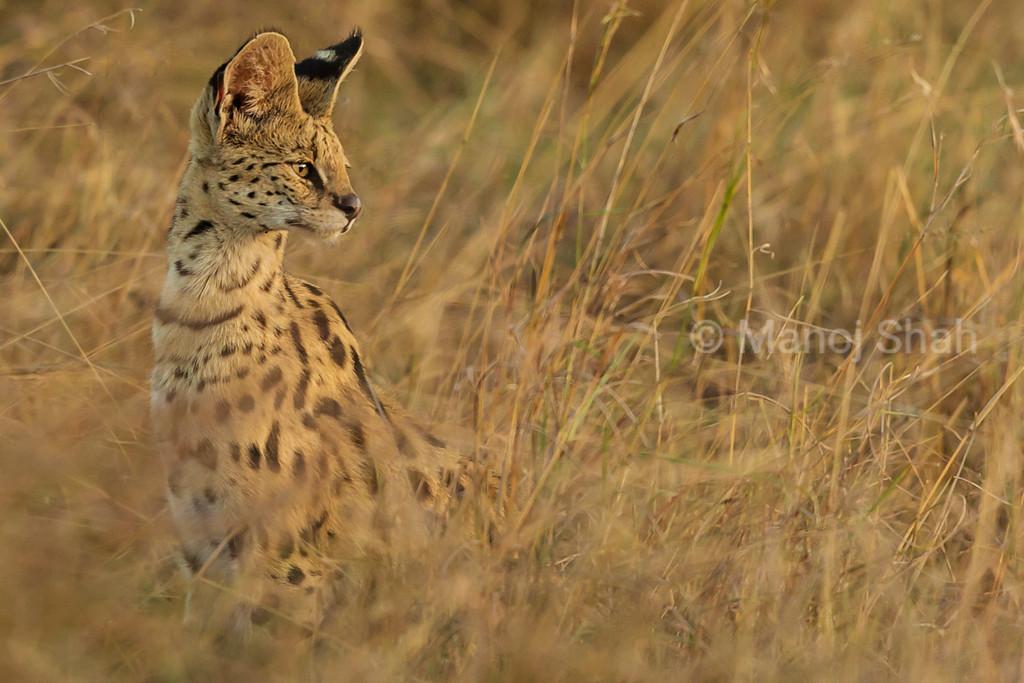 Serval cat listening for prey noise.