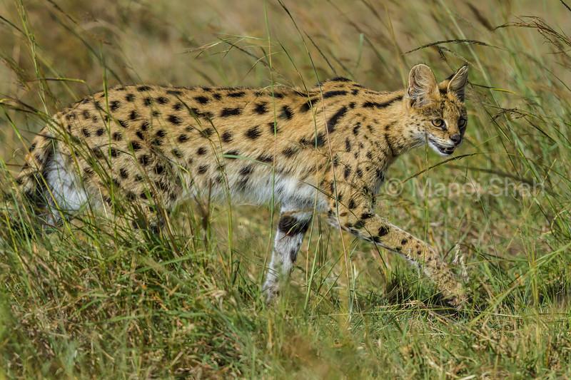 Serval cat on the hunt in Masai Mara.