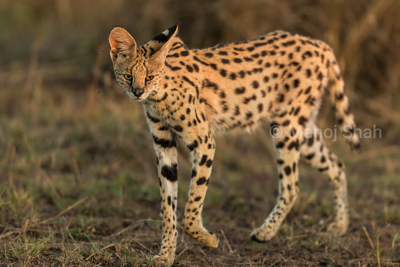 Serval cat using its ears to locate prey.