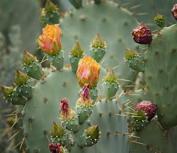 Cactus flower P9990183 final