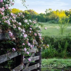 Roses on fence SUZ8382