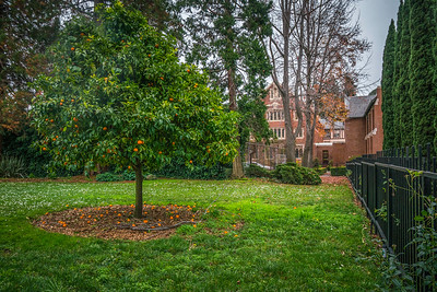 Orange tree at St Albert's Priory Chapel