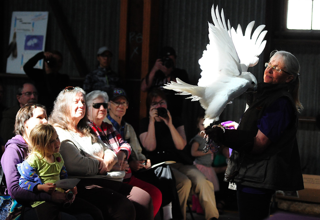 . (CHRIS RILEY �TIMES-HERALD) Linda Knight holds on to Red Tailed hawk with a condition called leucism which is the loss of pigmentation during a presentation from Native Bird Connection at the SF Bay Flyway Festival on Mare island in Vallejo on Saturday.