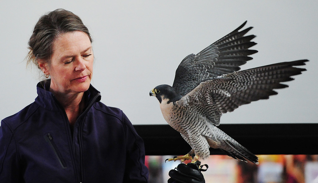 . (CHRIS RILEY �TIMES-HERALD) Karen Sharkelton with Native Bird Connections holds a peregrine falcon during the live bird show at the San Francisco Bay Flyway Festival on Mares Island in Vallejo on Saturday. The festival continues on Sunday with walking tours, bird watching excursions, live bats and many over activities.